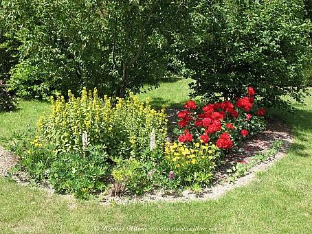 Rosier polyantha, Lupin, Lysimachia punctata et Coréopsis nains