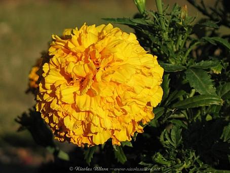 Rose d'Inde