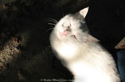 Chat Blanc